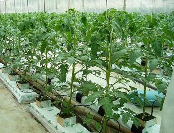 Tưới nhỏ giọt cho cây trồng